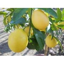 1 Arbol De Lima, Limon Real O Lima Dulce