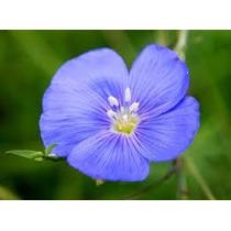 Linaza Azul 25 Semillas Flor Sdqro Linaza Común