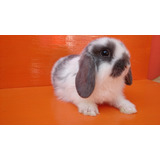 Hermosos Conejos Belier (mini Lop) 100% Puros