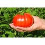 Semillas Tomate Grande Gigante Grandecito