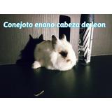 Conejitos Enanos Cabeza De León