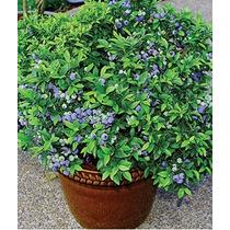 1 Planta De Blueberry Ya Productora Frutal Exotico