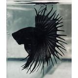 Betta Crowntail- Importados- Corona Negro