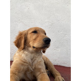 Cachorros Golden Retriever. Raza Pura Importada De U.s.a.