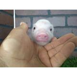 Minipig Mini Pi Minipigs Mini Pigs Cerdito