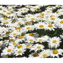 Crisantemo Bco Gigante 20 Semillas Solo Mercadopago Mpsdqro