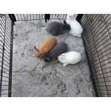 Conejos Enanos Holandeses