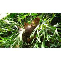 Planta Helecho Cuerno De Alce Helecho Australiano