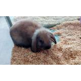 Hermoso Conejo Belier Mini Lop