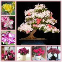 1 Planta De Azalea Diversos Colores - Hermosas Para Jardin