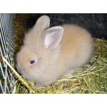 Conejos Cabeza De Leon Raza Pura 100%