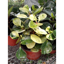 Planta Interior Peperomia Variedades En Maceta De 6 Pulgadas