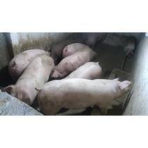 Cerdos Con Kg Desde 100 A 120 Alimentados Con Purina