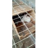 Conejos Nueva Zelanda Morelia Mich