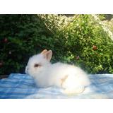 Hermoso Conejo Para Mascota Cabeza De Leon 100% Puros