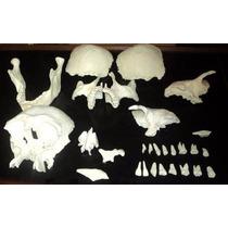 Modelo Anatómico De Cráneo Articulable.
