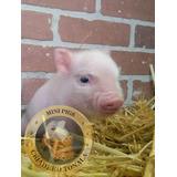 Mini Pig Minipig Mini Pigs Minipigs Cerditos