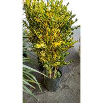 Croto Tornillo Amarillo ( Planta ) , Sombra - Semisombra