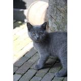 Gato Azul Ruso Cachorritos