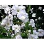Nube O Gypsophila 20 Semillas Flor Jard�n Sdqro
