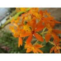Orquidea Epidendrum Naranja