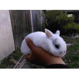 Venta De Conejos Cabeza De Leon, Enano Y Mini Lop