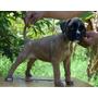 Cachorra Europea - Leonada Con Blanco- Kelly-kelly