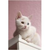 Gatos Angora Gatitos Blancos