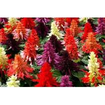 Salvia Splendens Mix 10 Semillas Flor Jardín Planta Sdqro