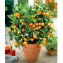 1 Arbol De Naranja Japonesa O Kumquat 1m Produciendo