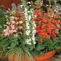 Salvia Coccinea Mix 15 Semillas Flor Jardín Fácil Mpsdqro