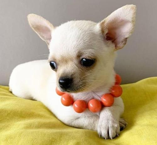 Cachorros Chihuahua Cabeza De Manzana Mini