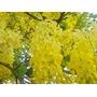 Lluvia De Oro 5 Semillas Árbol Jardín Cassia Fistula Sdqro