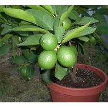 Plantas De Limón Mexicano Y Persa