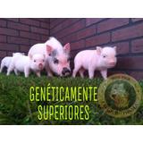 Minipig Mini Pig Cerditos