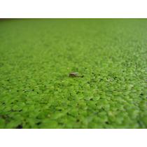 Lenteja De Agua Planta Acuatica Para Cria Alevines