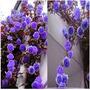 Semillas Exóticas.rosal Trepador Enredadera Purpura.flores