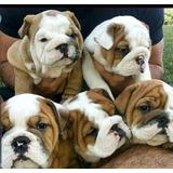 Cachorros Bulldog Ingles Hembras Y Machos