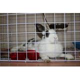 Conejo Hembra