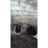 Preciosos Conejos Enanos