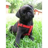 Pug Negro Lindos Cachorros