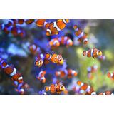 Pez Payaso Percula Acuario Pecera Nemo
