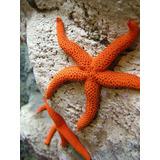 Estrella De Mar Naranja Acuario Marino Compatible Coral
