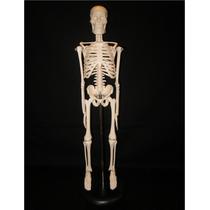 Esqueleto Humano Modelo Anatomico 40cm De Alto Hm4
