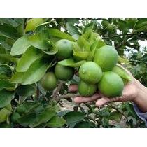 Proyección Financiera Cultivo Y Producción De Limón Persa