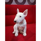 Bull Terrier Ingles Cachorros Finos