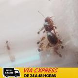 Hormiga Reina (solenopsis Invicta)