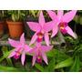 Venta De Orquídeas Laelia Anceps