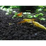 Gambas Camarones Neocaridinas Yellow Golden Back