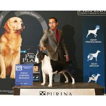 Bull Terrier Ingles. Semental